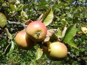 Äpple Arby Agri-kultur Hermann Leggedör